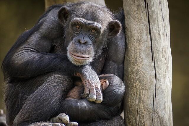 ヒトヒトの実 モデル「チンパンジー」