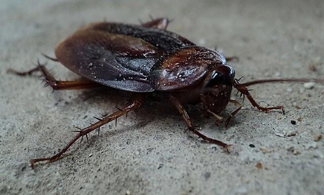 ムシムシの実 モデル「ゴキブリ」
